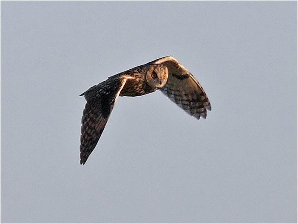 Hornuggla (Long-eard Owl), Ölands Södra Udde, Ottenby, Öland