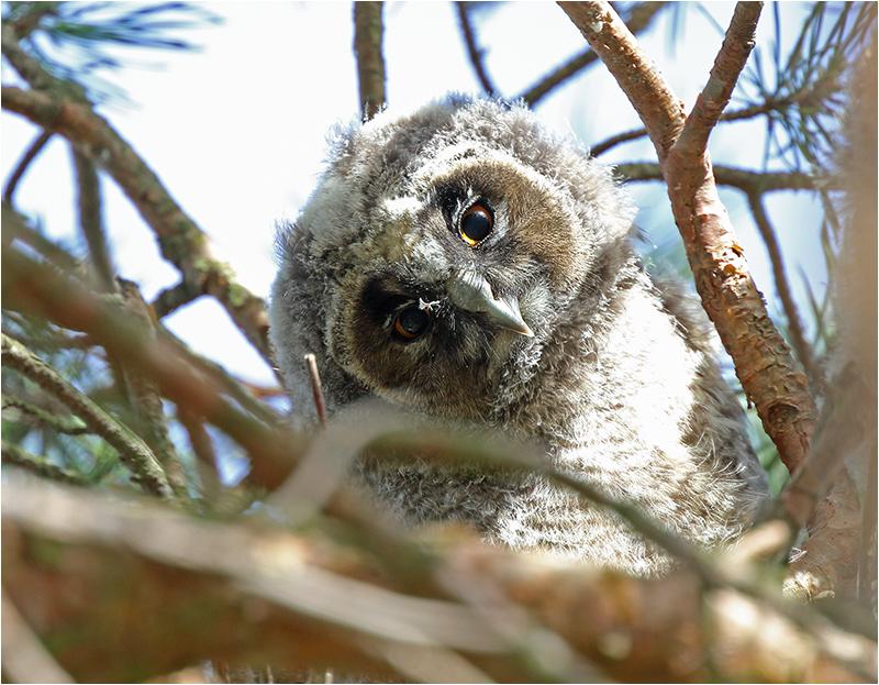 Hornuggla (Long-eard Owl), Stenåsabadet, Öland