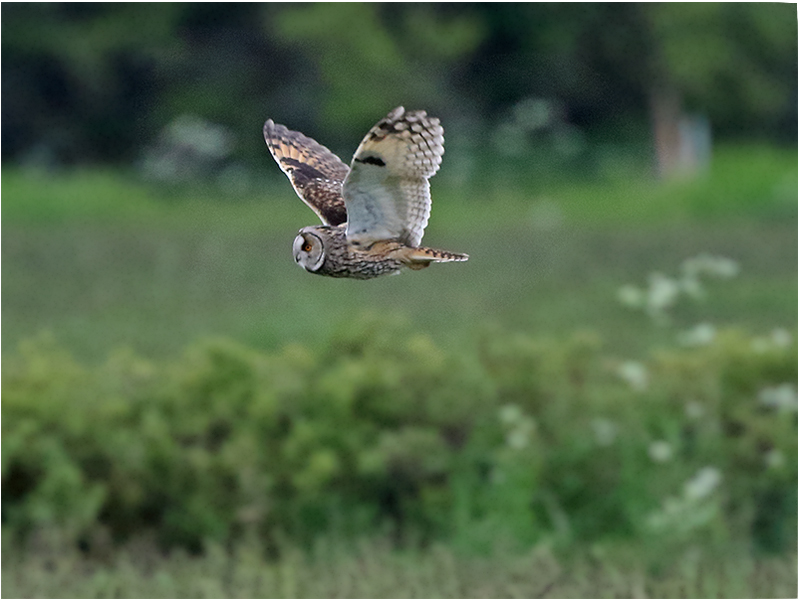 Hornuggla (Long-eard Owl), norr om Resmo, Öland