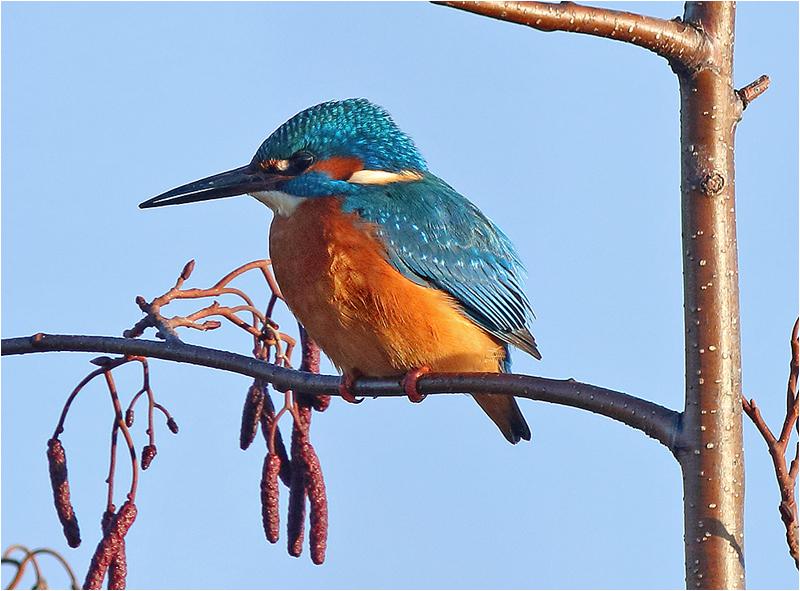 Kungsfiskare (Kingfisher), Välen, Göteborg