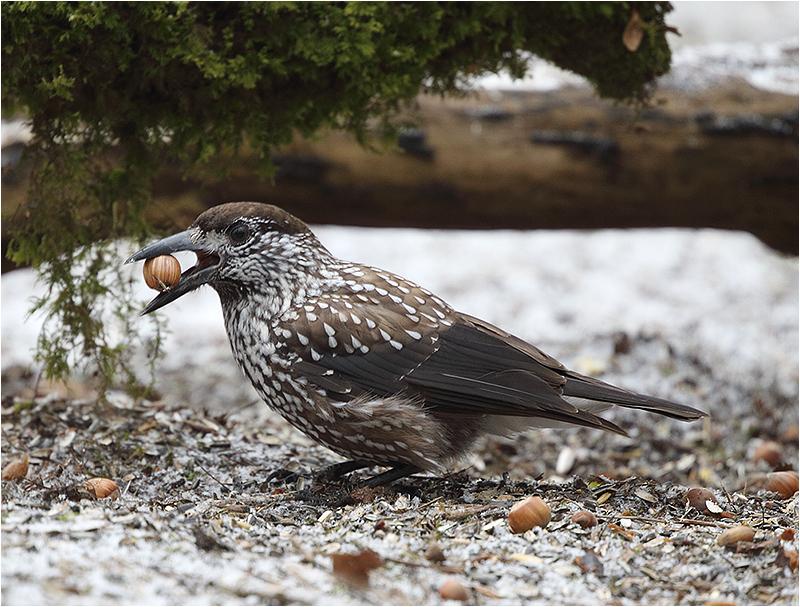 Nötkråka (Spotted Nutcracker), Högen, Kållered