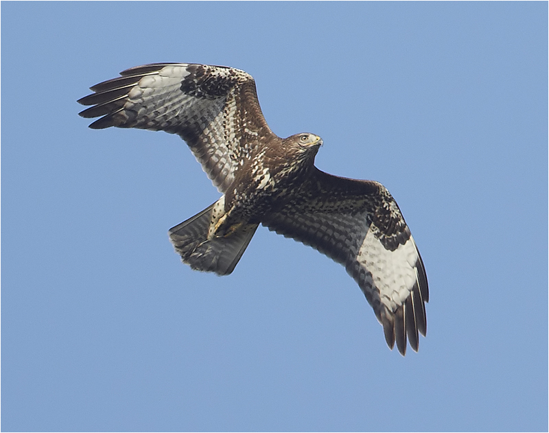 Ormvråk (Buzzard), Kolabacken, Falsterbo