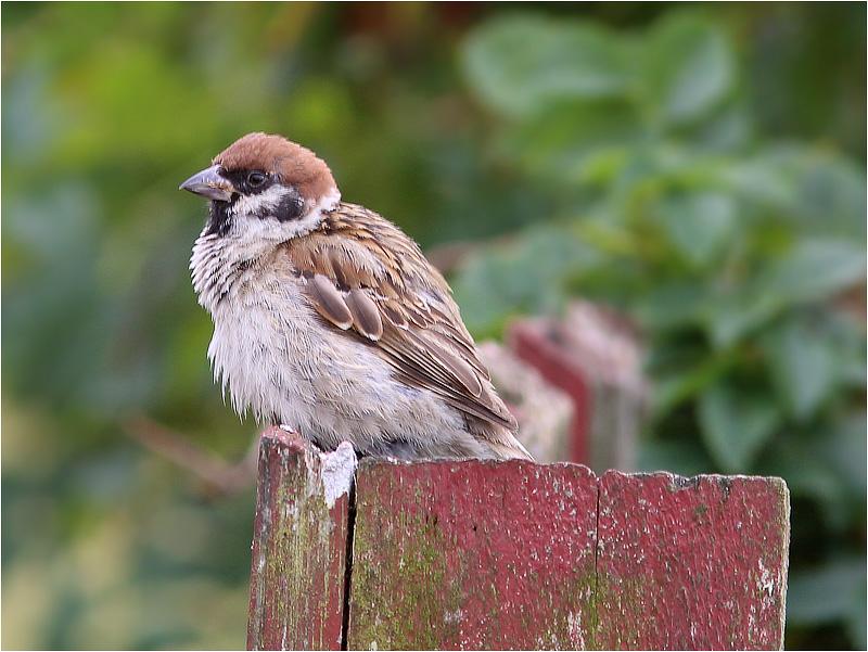 Pilfink (Tree Sparrow), Morups Tånge, Halland