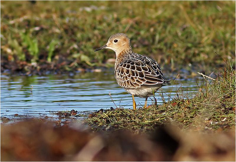 Prärielöpare (Buff-breasted Sandpiper), Fyrvägen, Ottenby