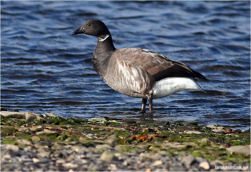 Prutgås (Brent Goose), Ölands Södra Udde