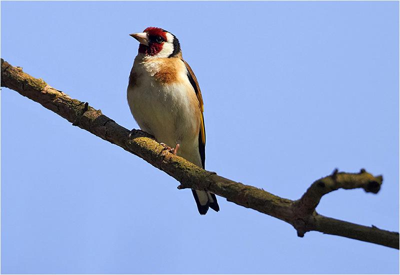 Steglits (European Goldfinch), Stenåsabadet Öland