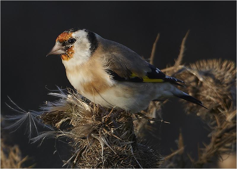 Steglits (European Goldfinch), Skanör, Skåne