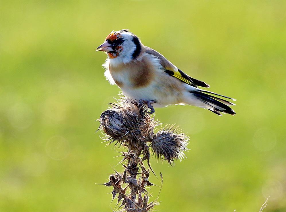 Steglits (European Goldfinch) vid Fyrvägen, Ottenby på Öland