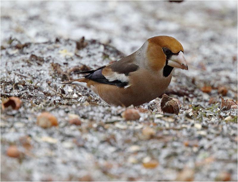 Stenknäck (Hawfinch), Högen, Kållered