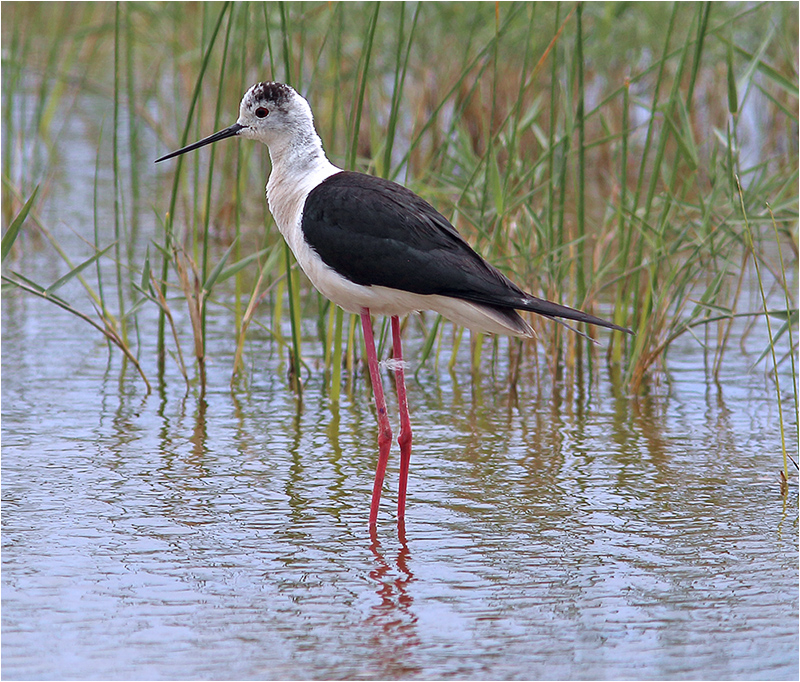 Styltlöpare (Black-winged Stilt), S'Albufera Natural Park, Mallorca