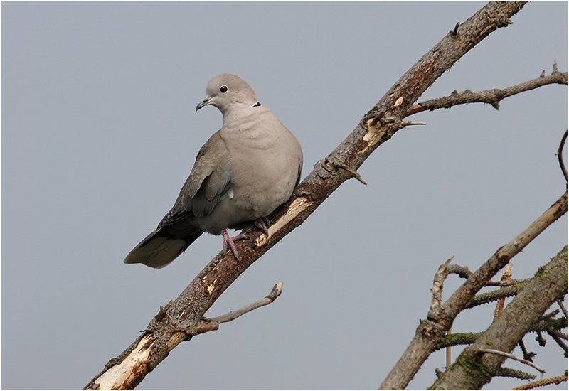 Turkduva (Collared Dove), Morups Tånge, Halland