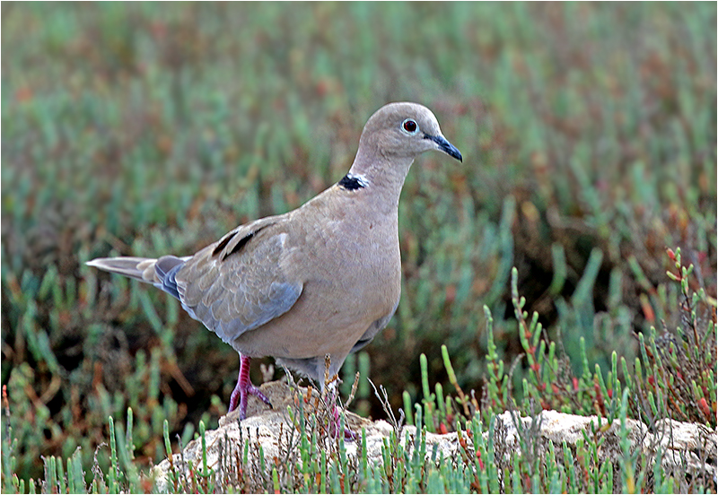 Turkduva (Collared Dove), La Gola, Puerto Pollensa, Mallorca, Spanien
