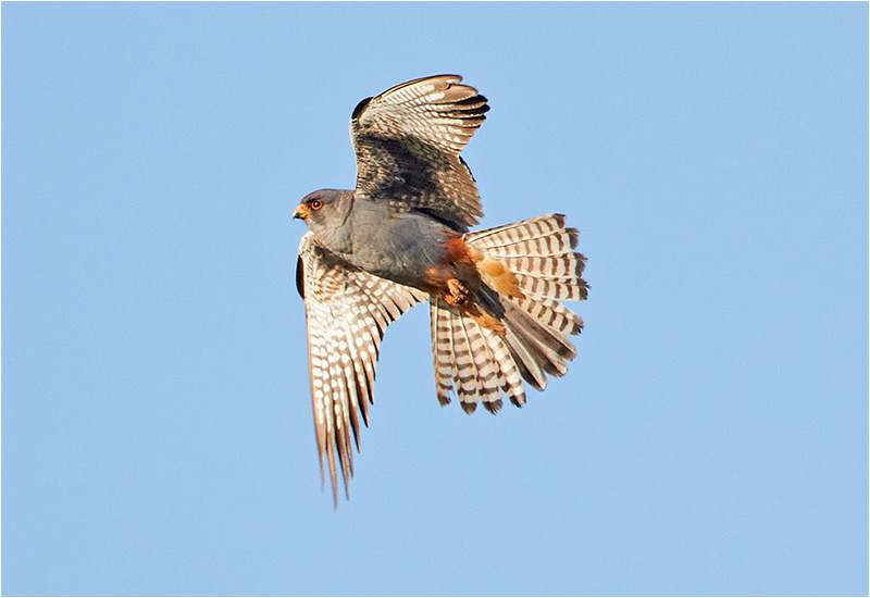 Aftonfalk (Red-footed Falcon), Kronogård, Falkenberg