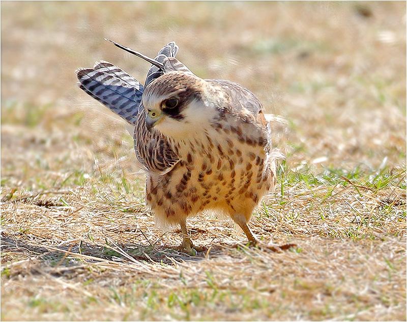 Aftonfalk (Red-footed Falcon), Södra Näs, Varberg, Halland