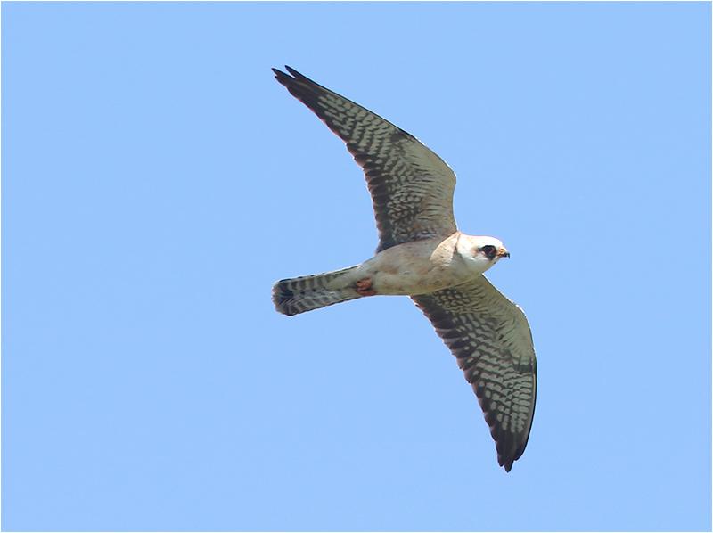 ftonfalk (Red-footed Falcon), Ebbelunda, Mörbylånga, Öland