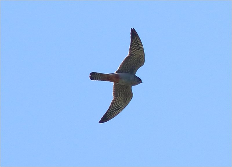 Aftonfalk (Red-footed Falcon), Enetri, Mörbylånga, Öland