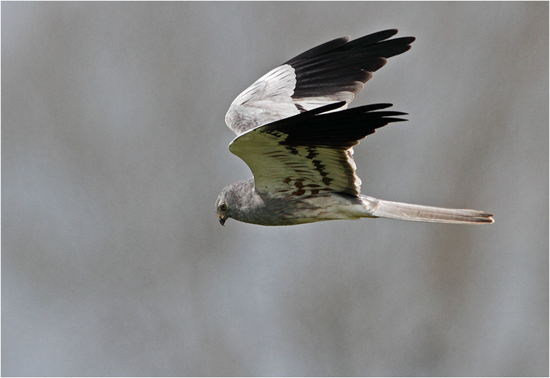 Ängshök (Montagu´s Harrier), Stenåsabadet, Öland
