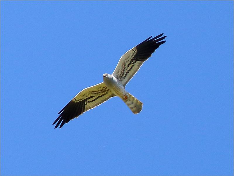 Ängshök (Montagu´s Harrier), Hammarby, södra Öland