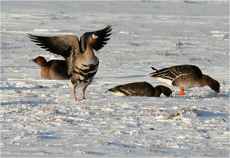 Bläsgås (White-fronted Goose), Billdals Park