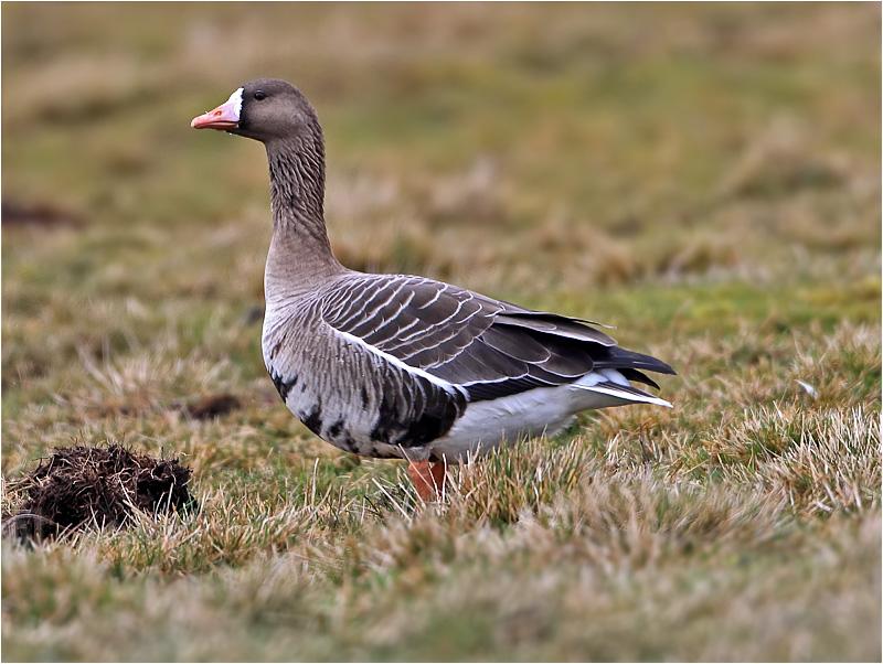 Bläsgås (White-fronted Goose), Vombs ängar, Skåne
