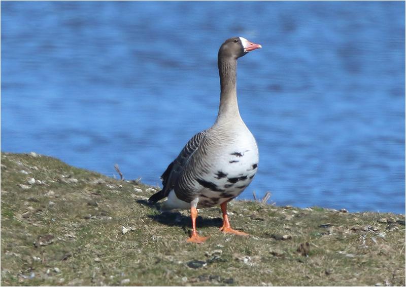 Bläsgås (White-fronted Goose), Källstorps Våtmark, Falkenberg, Halland