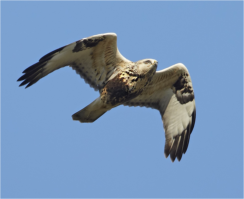 Fjällvråk (Rough-legged Buzzard) vid Kolabacken, Falsterbo
