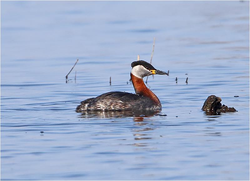 Gråhakedopping (Red-necked Grebe), Fågeludden, Hornborgasjön