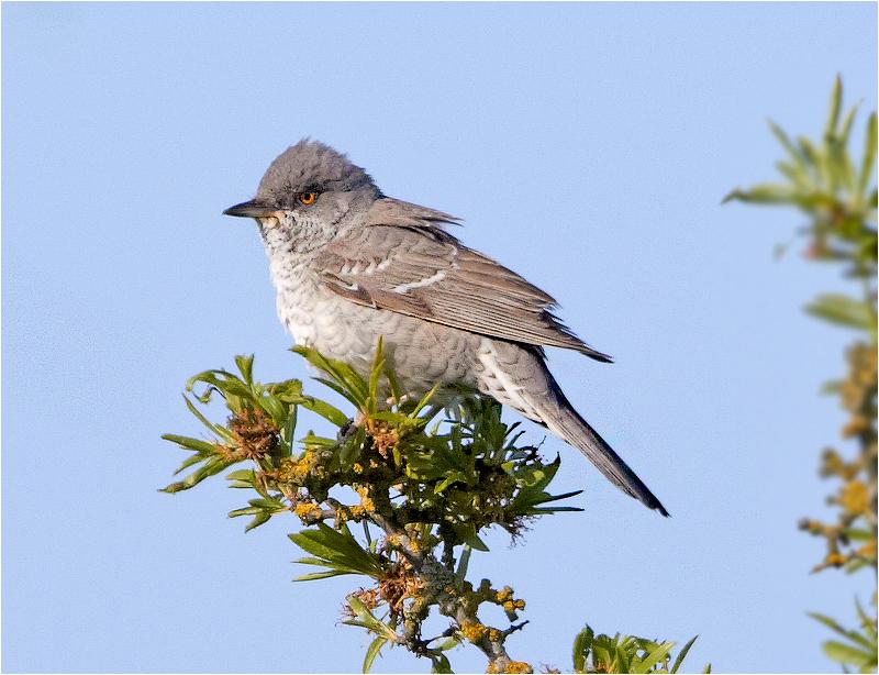 Höksångare (Barred Warbler), Ottenby, Öland