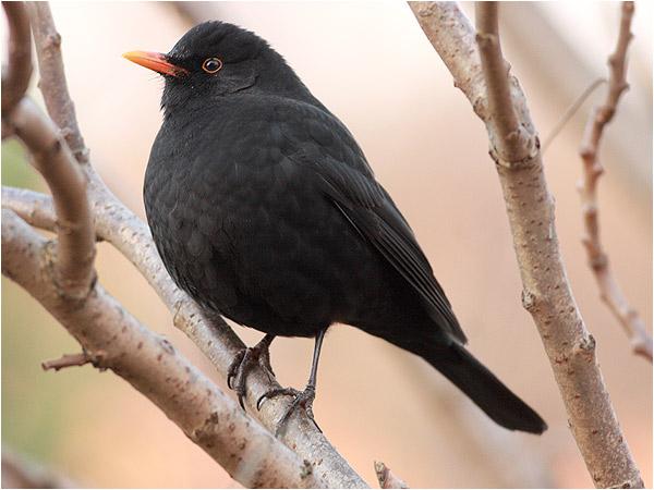 Koltrast (Blackbird), Skintebo, söder om Göteborg