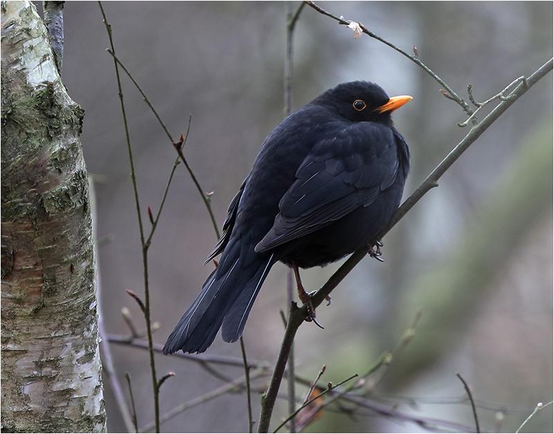 Koltrast (Blackbird), Hästhagen, Stora Amundö, söder om Göteborg