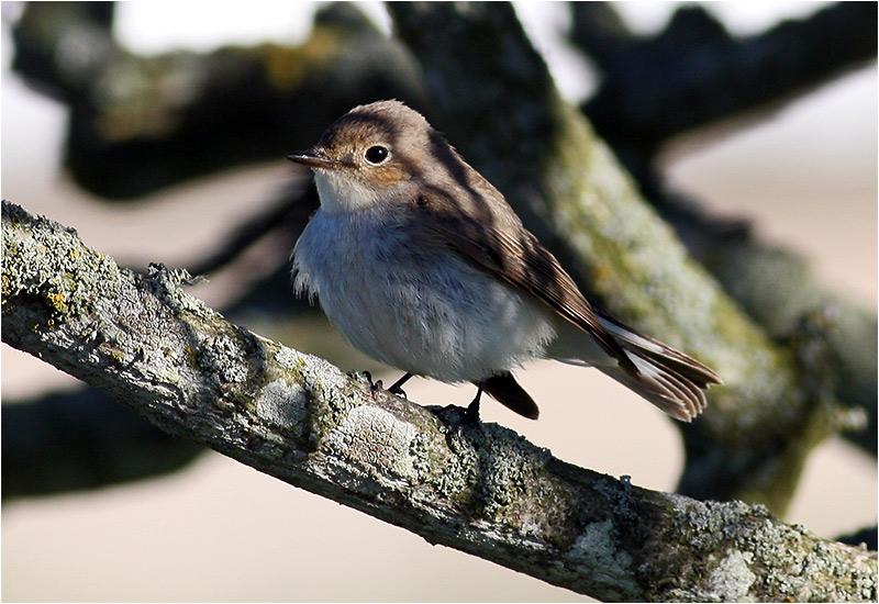 Mindre flugsnappare (Red-breasted Flycatcher), Ölands Södra Udde, Ottenby