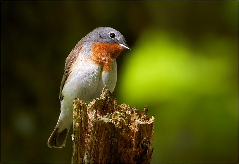 Mindre flugsnappare (Red-breasted Flycatcher), Tölö, Kungsbacka