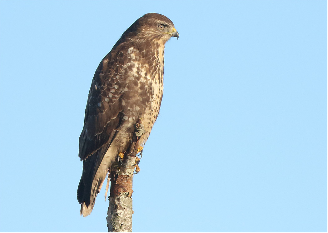 Ormvråk (Common Buzzard) vid Stafsinge, Halland