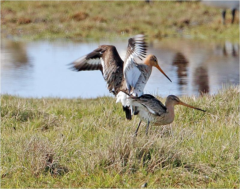 Rödspov (Black-tailed Godwit), Fågeltornsparkeringen, Getterön, Halland