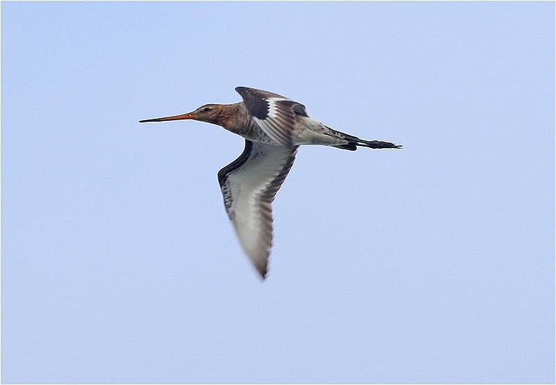 Rödspov (Black-tailed Godwit), Fyrvägen, Ottenby, Öland