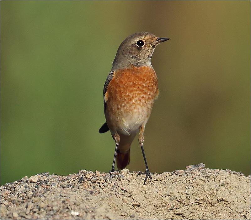 Rödstjärt (Common Redstart), Getterön, Halland