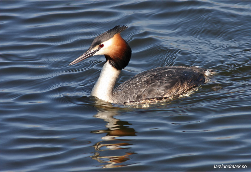 Skäggdopping (Great Crested Grebe), Hornborgasjön