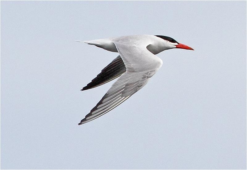 Skräntärna (Caspian Tern), Sebybadet, Öland