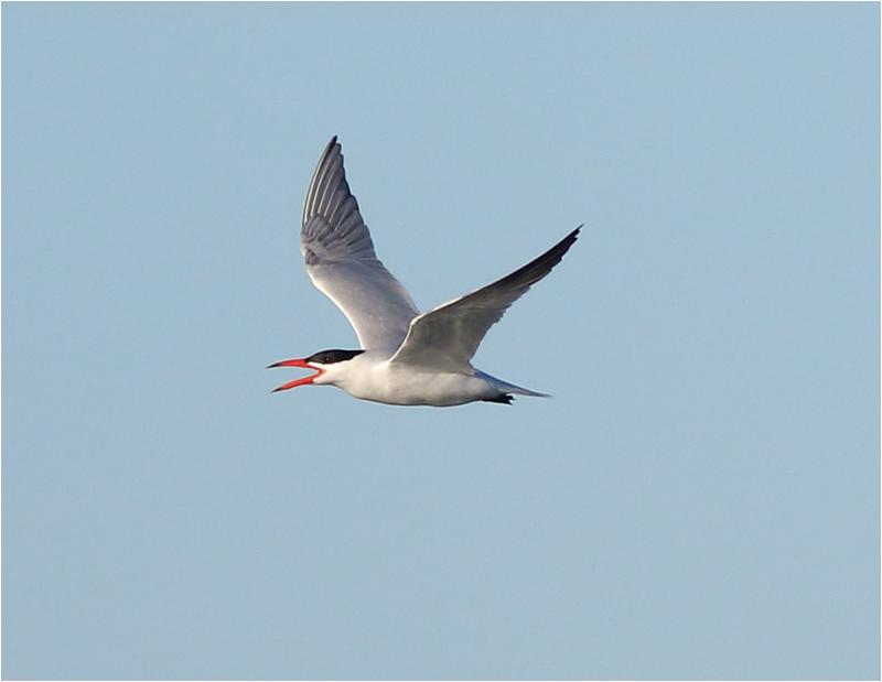 Skräntärna (Caspian Tern), Ölands Södra Udde, Öland