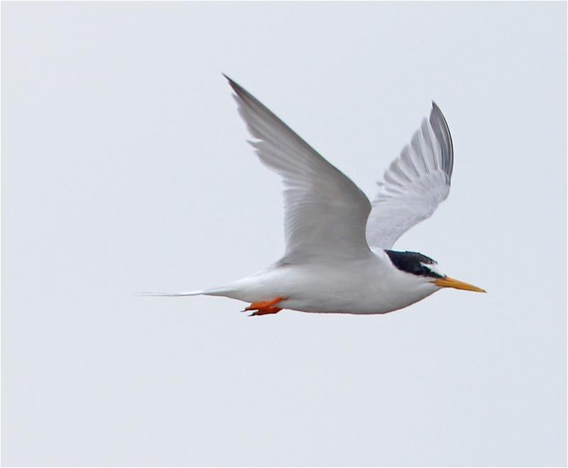 Småtärna (Little Tern), Sebybadet, Öland