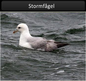Stormfågel