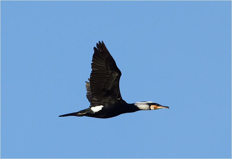 Storskarv (Great Cormorant), Stora Amundö, Göteborg