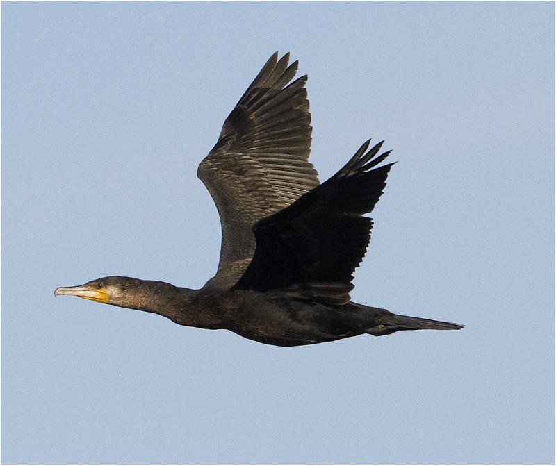 Storskarv (Great Cormorant), Grosshamn, Bohuslän