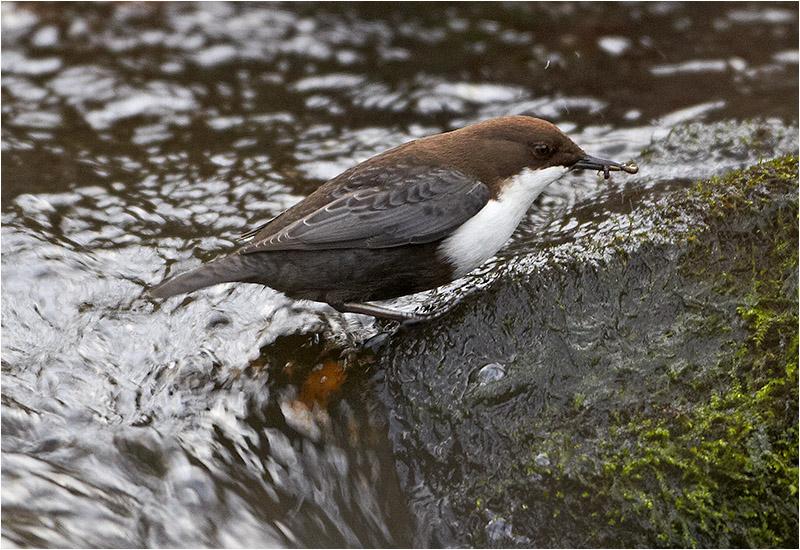 Strömstare (White-throated Dipper), Grevdämmet Mölndalsån, Mölndal