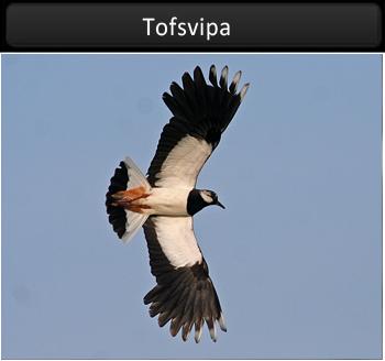 Tofsvipa vid Stora Amundö