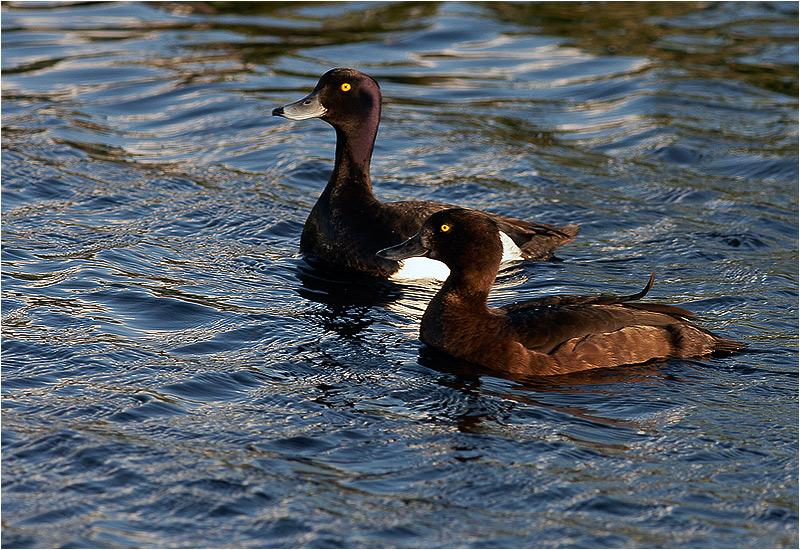 Vigg (Tufted Duck), Fågeltornet, Hornborgasjön