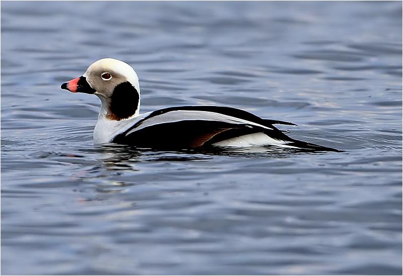 Alfågel (Long-tailed Duck), Gislövshammar, Skåne
