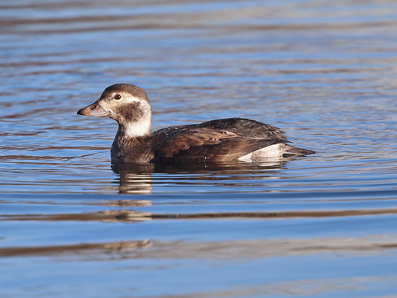 Alfågel (Long-tailed Duck), Torslandaviken, Göteborg