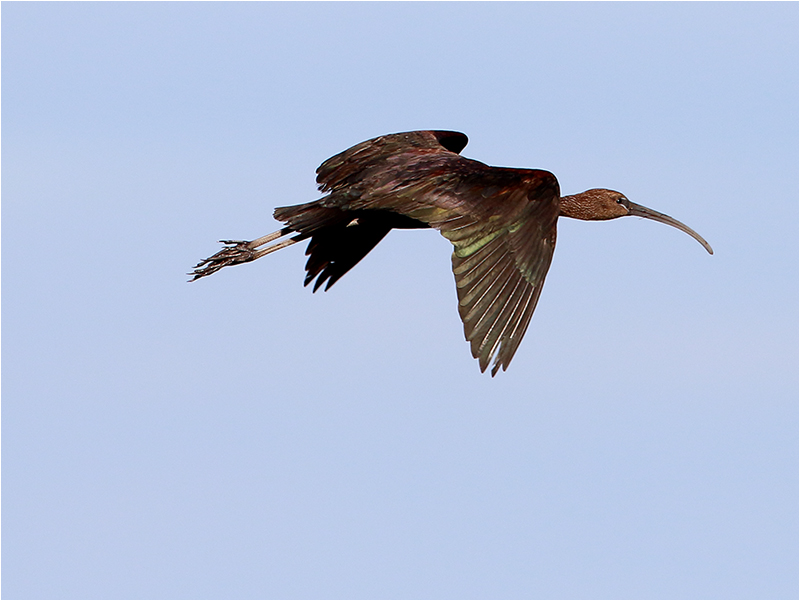 Bronsibis (Glossy Ibis), Skanör, Falsterbonäset, Skåne