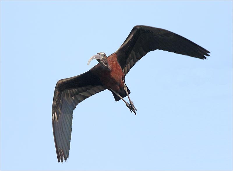 Bronsibis (Glossy Ibis), S'Albuferia, Mallorca, Spanien